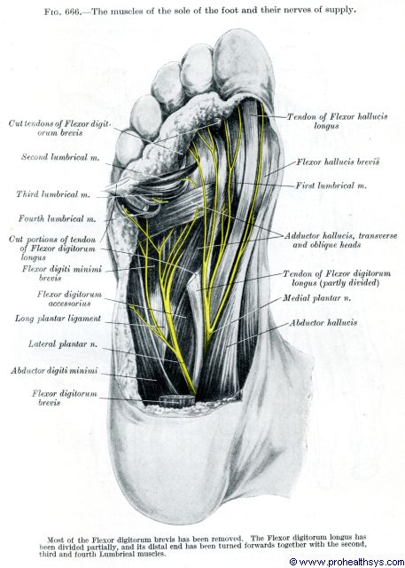 Muscles And Fascia Of The Foot Prohealthsys