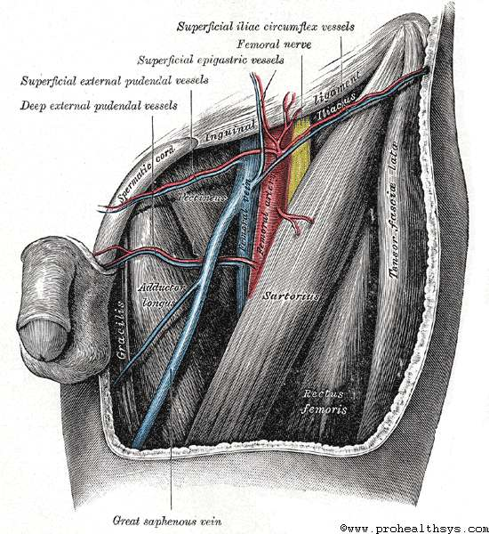 femoral artery - prohealthsys, Muscles