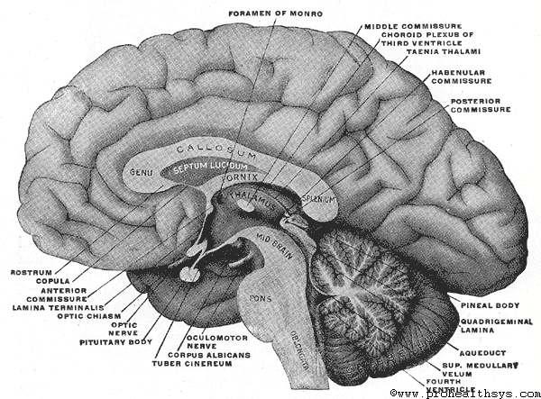 Fore-brain or Prosencephalon - Prohealthsys