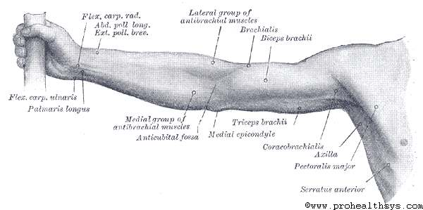 Surface Anatomy Of The Upper Extremity Prohealthsys