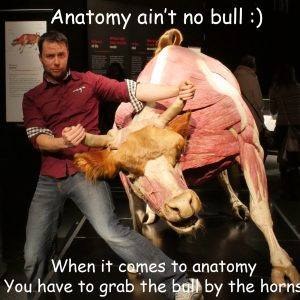 Anatomy Bull Vizniak