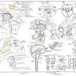 Vizniak neuroanatomy