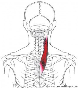 CS AN Splenius Cervicis