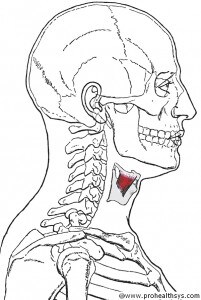 CS AN Thyrohyoid