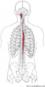 TS AN Spinalis