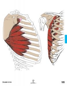 Muscle Manual Anatomy Cards Sample