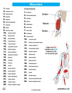 Muscle Manual Anatomy Cards - Sample